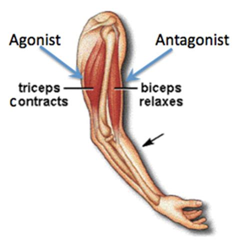 agonist and antagonist muscles list picture 2