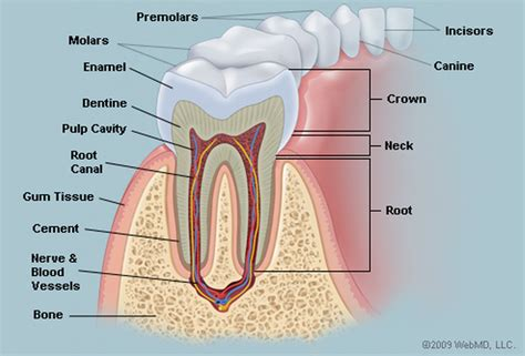 anatomy of the teeth picture 5
