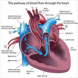 heart diagram blood flow picture 2