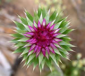 thistle flower picture 6