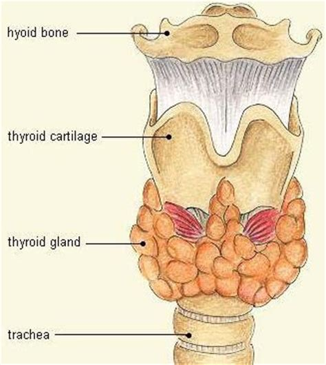 thyroid glandular picture 14