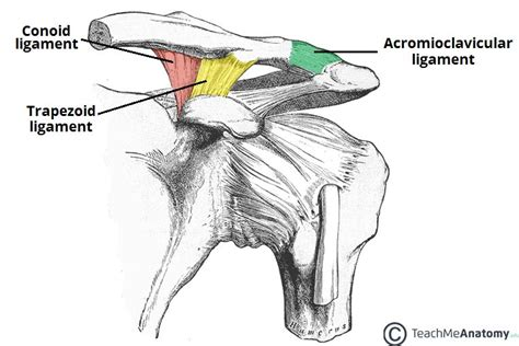 acromio-clavicular joint picture 13