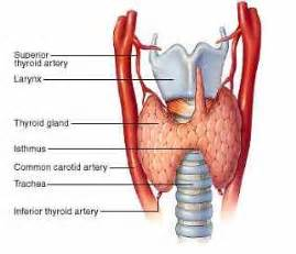 picture of thyroid glan picture 3