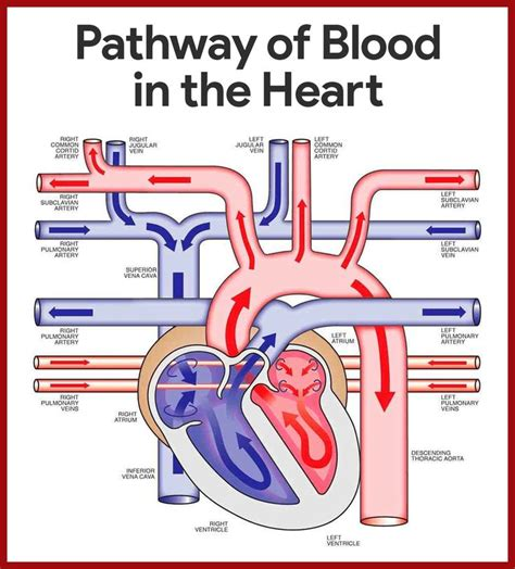 anatomy and physiology of blood circulation picture 4