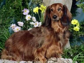 dachshund long hair picture 6