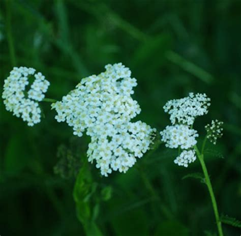 creeping yarrow picture 5