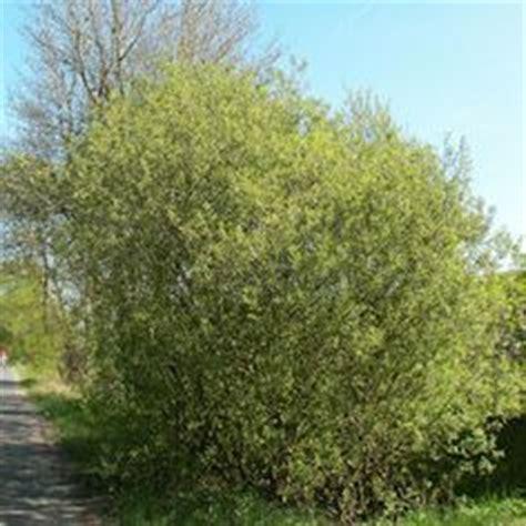 irish moss turning yellow picture 9
