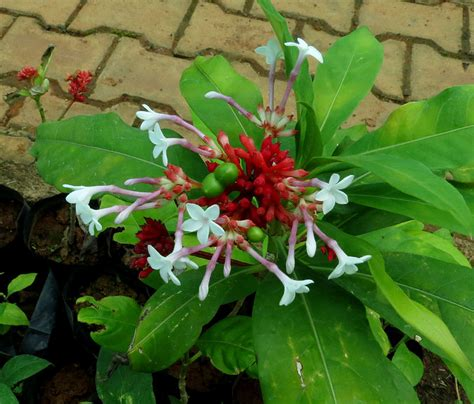 rauwolfia serpentina plant in the philippines picture 4