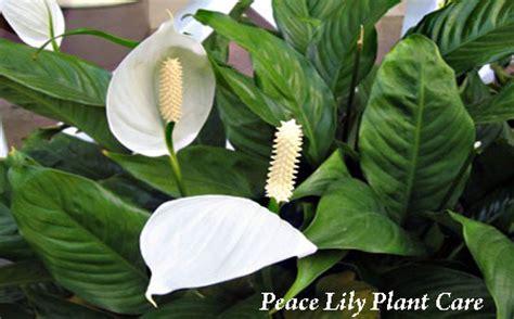 plantain tree care picture 14