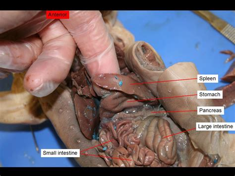 fetal pig digestion system dissection picture 1