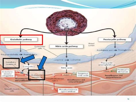 revatio mechanism of action picture 1