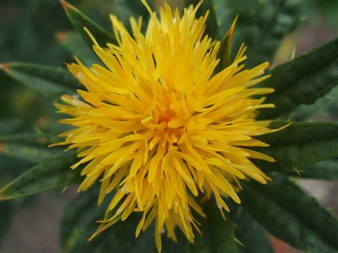 safflower picture 2