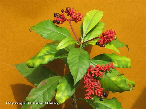rauwolfia serpentina plant in the philippines picture 5