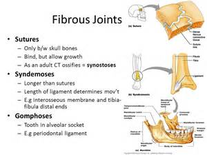 fibrous joint picture 10
