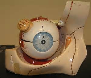 ciliary eye muscle picture 5