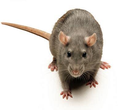 black rats diet picture 5