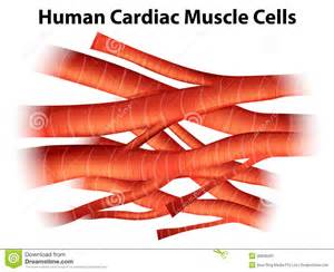 cardiac muscle cells are picture 10