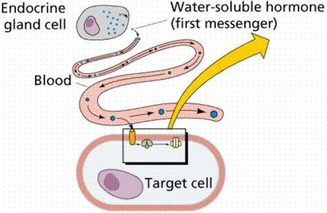 the hormone testosterone functions inside a cell by picture 2
