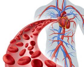 blood flow in the circulatory system picture 6