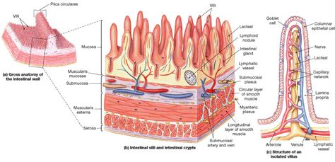 small intestinal wall picture 17