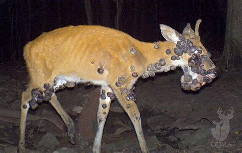 caribou skin picture 10