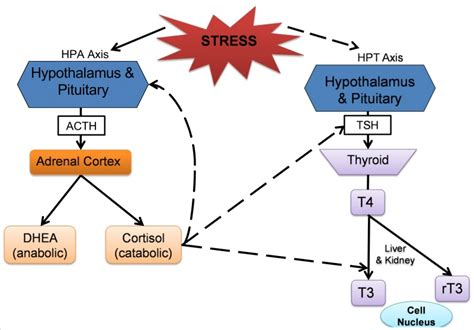 cortisol elevated testosterone picture 5