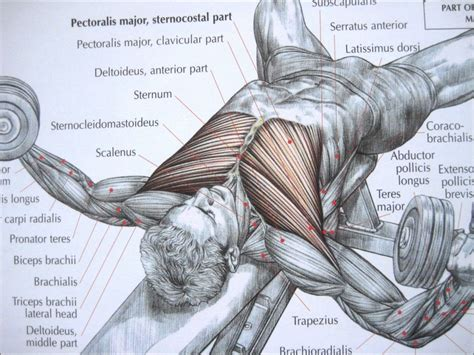 bodybuilding bones exercise and anatomy picture 1