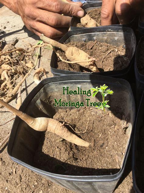 hw do one locally use herbs like moringa picture 11