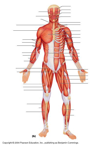 diagram of body muscle picture 6