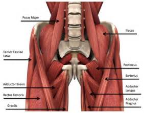 groin muscle picture 2