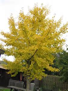 ginkgo baloba picture 6