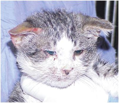 clinical signs of feline herpesvirus fcv picture 1