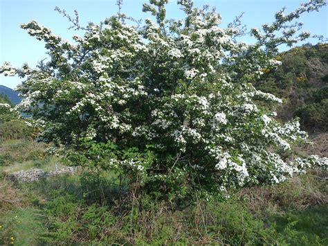 hawthorn picture 3