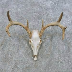 deer skull and h picture 2