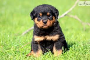 aging rotweiler picture 14