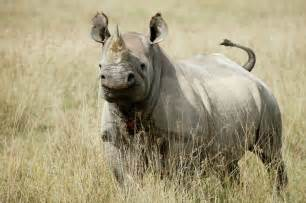 the rhinoceros has a penis about two feet long. picture 5