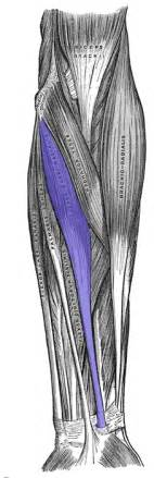 flexor carpi radilis stretches what muscle picture 3
