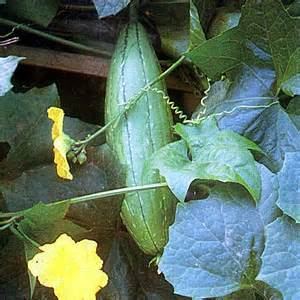 philippine native herb for weight gain for filipinos picture 8