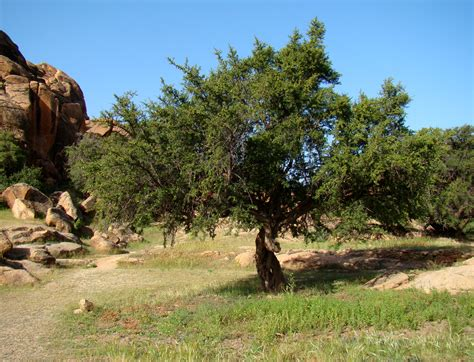 argan tree for sale picture 2
