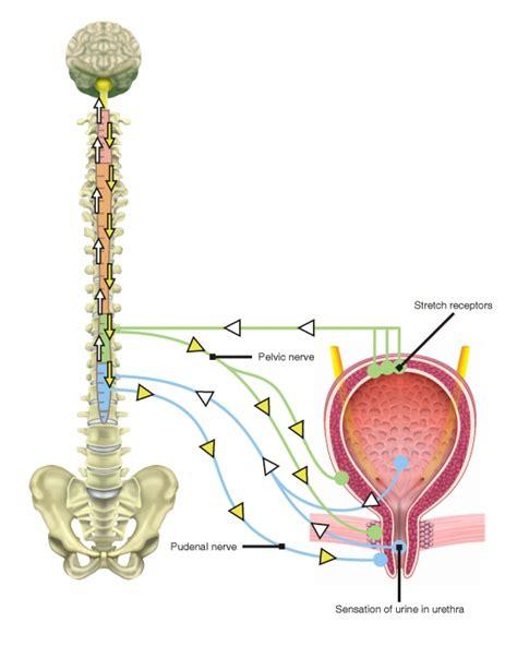 bladder stretching picture 13