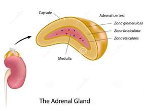 adrenal gland picture 18