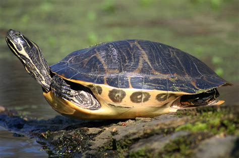 diet of the river cooter turtles picture 11