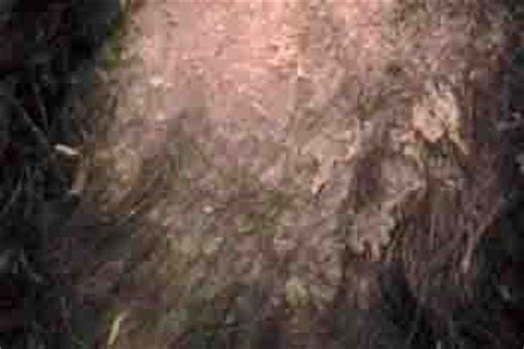 dog has very dry skin picture 3