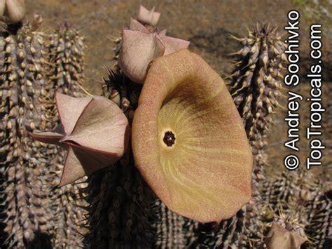 florida gordonii picture 7