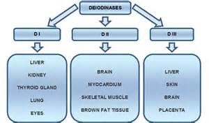thyroid metabolism picture 14