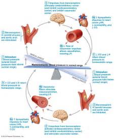 figure 8 of blood flow picture 11