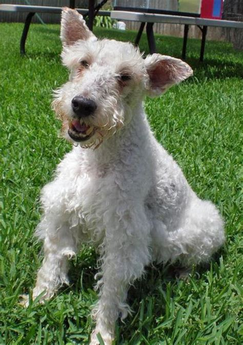 wire hair fox terriers web 9818 picture 1