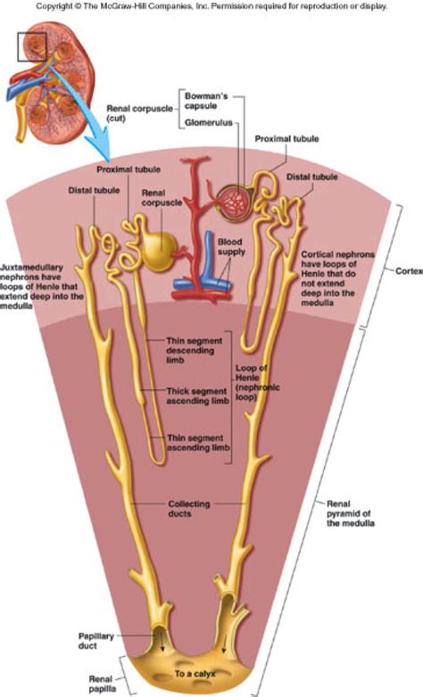 cortical blood flow picture 5