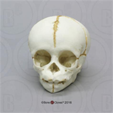 deciduous teeth in chimpanzees picture 5