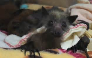pictures of vampire bats sleeping picture 3